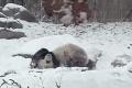 Forr�s: Youtube/Toronto Zoo