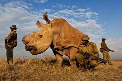 Forr�s: Photo by Brent Stirton/Reportage by Getty Images - Ol Pejeta Conservancy, Kenya - 2011. j�lius 13